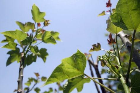 IMAGE: JATROPHA PLANT