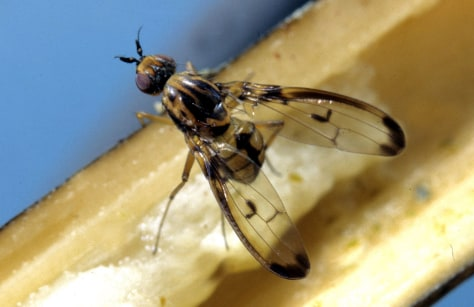 IMAGE: PICTURE-WING FLY