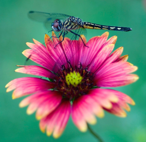 Image: Dragonfly
