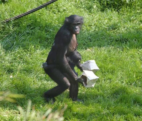 Image: Tool-carrying bonobo