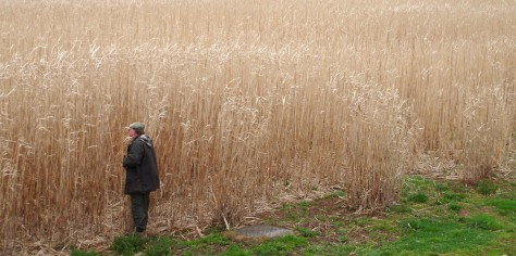 IMAGE: MISCANTHUS FIELD