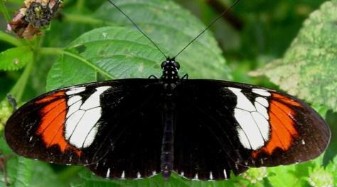 Image: Hybrid butterfly