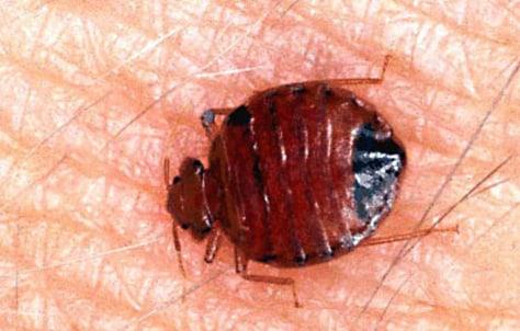 Image: Bedbug
