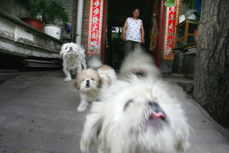 Image: Chinese dogs