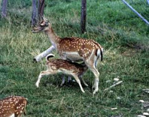Image: Deer and fawn