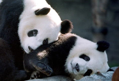 Image: Yang Yang and Lun Lun