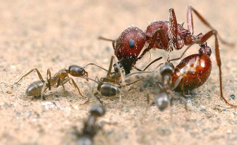 Image: Ant vs. ant