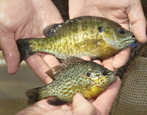 Image: Bluegill and pumpkinseed sunfish