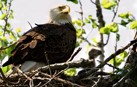 IMAGE: BALD EAGLE MARTHA WITH CHICK
