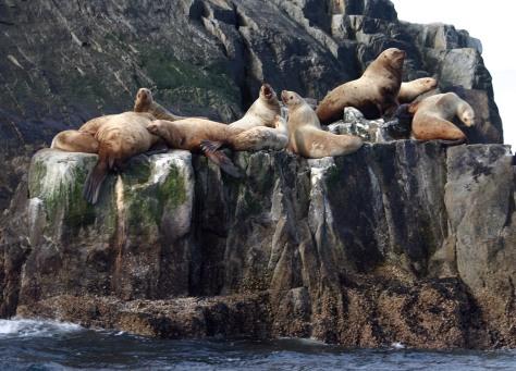Image: Steller sea lions
