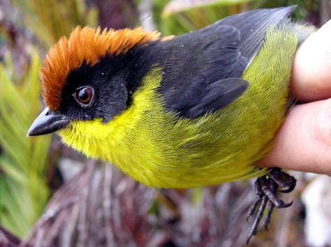 Image: Yariguies brush-finch
