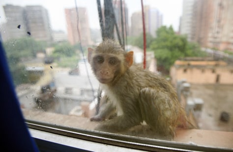 IMAGE: MONKEY IN NEW DELHI