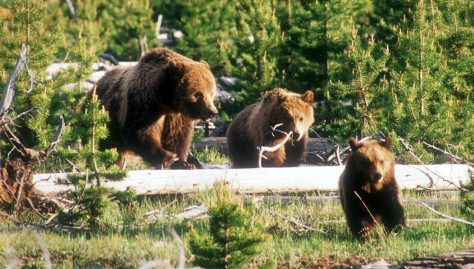 IMAGE: GRIZZLY SOW AND CUBS