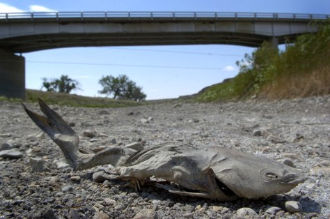 IMAGE: DEAD FISH IN DRIED-OUT RIVER