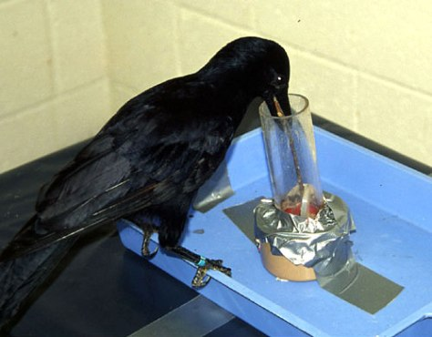 Image: Crow named Betty