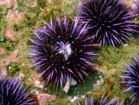 Image: Sea urchin