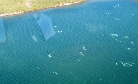IMAGE: BELUGAS SEEN FROM THE AIR