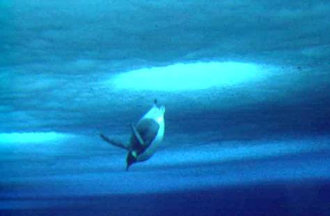 Image: Emperor penguin