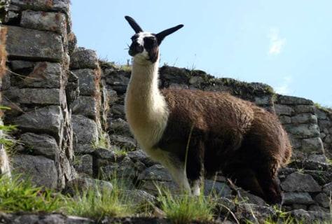 Image: Llama