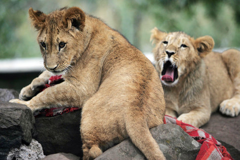 Lion cubs saved by embassy, then president - World news - World