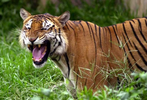 Image: Bengal tiger