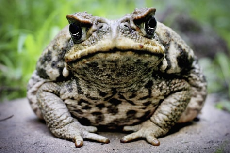 Image: Cane toad