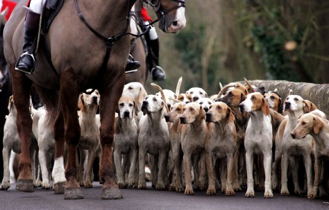 Image: Dogs gather for fox hunt