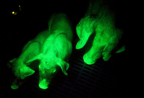 Fluorescent green pig