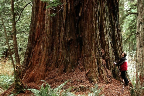 IMAGE: TREE HUNTER NEXT TO REDWOOD