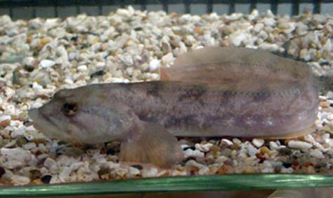 IMAGE: EELPOUT FISH