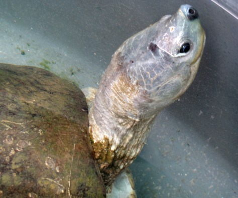 Image: river terrapin turtle
