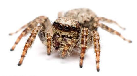 Image: jumping spider