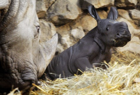 Southern White Rhinoceros Born In Captivity