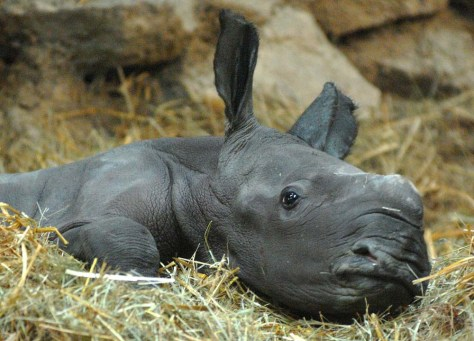 Image: Newborn rhinoceros