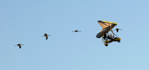 IMAGE: WHOOPING CRANES FLY WITH PILOT