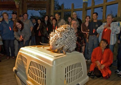 Image: Porcupine