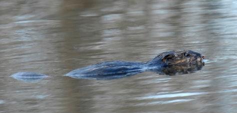 Image: beaver