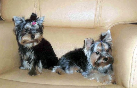 Image: Yorkshire terriers