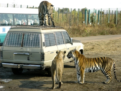 IMAGE: TIGERS IN CHINESE TOURIST PARK