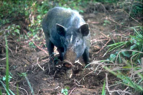 Image: Wild pig