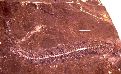 Image: Adriosaurus microbrachis
