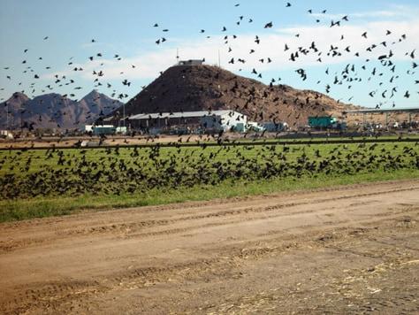 IMAGE: BLACKBIRDS IN FEEDLOT