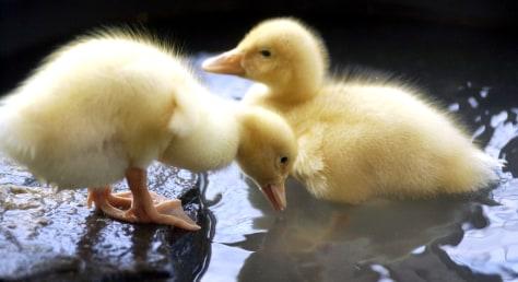 Image: Chicks
