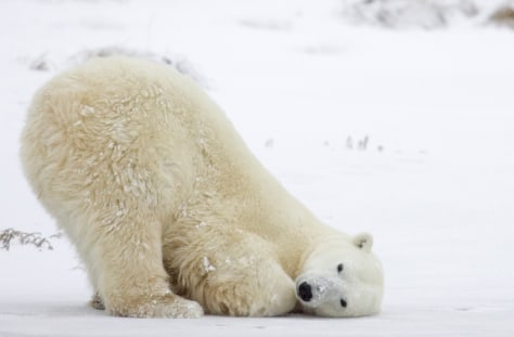 IMAGE: POLAR BEAR