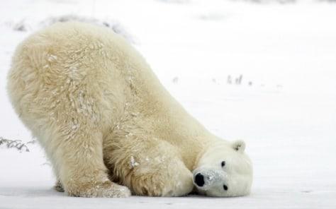Image: Pola bear