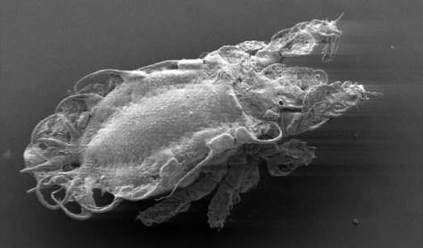 Image: Crotoniidae mite