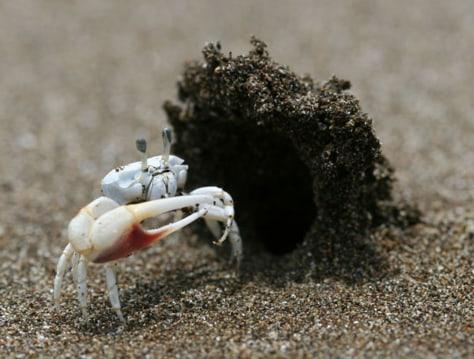 Image: Male fiddler crab