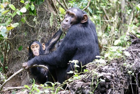 Image: Female chimp and infant