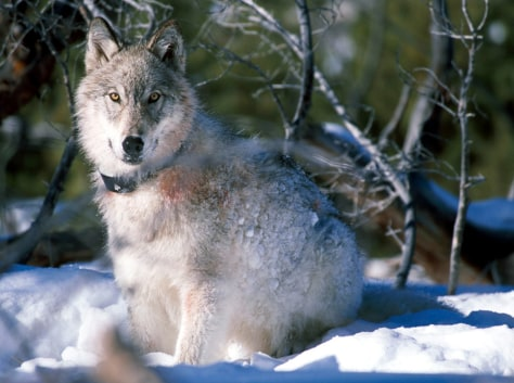 IMAGE: WOLF IN YELLOWSTONE