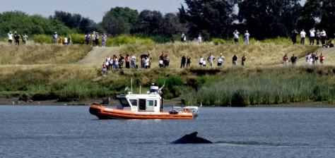 Image: Humpback whale in Sacramento Delta River.